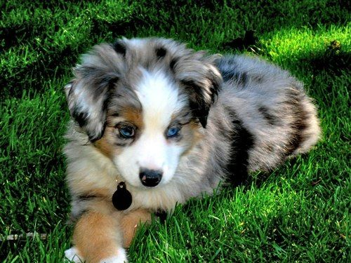 Image result for calico colour in dog