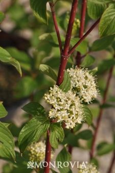 Monrovia's Bailey's Red-osier Dogwood details and information. Learn more about…