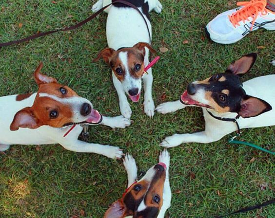 Team Jack Russell huddle, don't mind us! #jackrussellterrier: