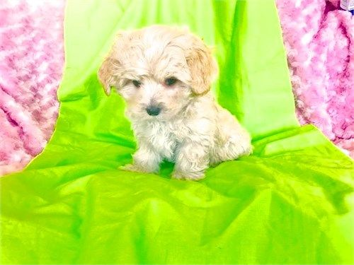 Maltipoo Puppies For Sale Maltipoo Puppy