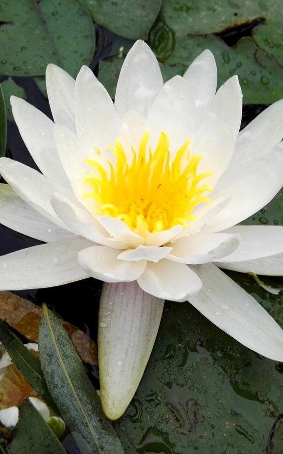 Gambar Bunga Teratai Hd In 2021 Lotus Flower Pictures Lotus Flower Wallpaper White Lotus Flower