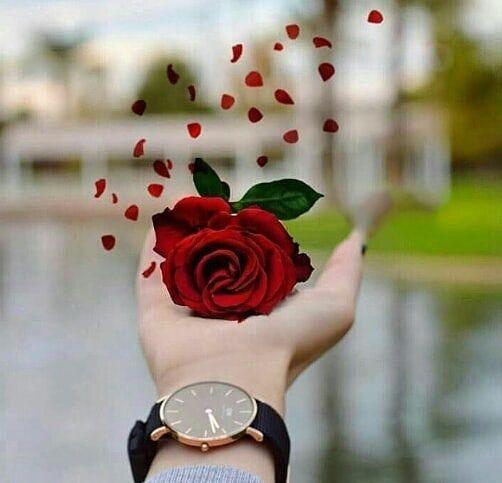 Follow For More Jjameel456 Beautiful Roses Beautiful Dp Beautiful Rose Flowers Coolest rose flower hd wallpaper