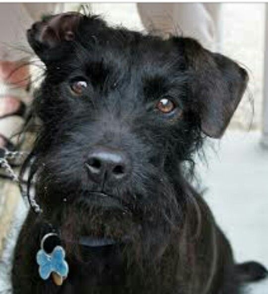 Gorgeous Patterdale Terrier Cross