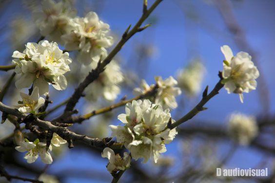 Almod flower / Flor de Almendro
