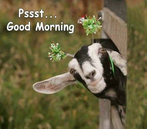 Pin By Deb Miller On Good Morning Funny Animal Photos Goats Funny Cute Animals