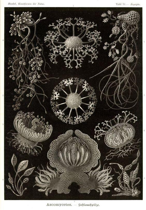Botanische print. Bieden aan uw aandacht prachtige natuur illustraties uit het boek van de Duitse bioloog Ernst Haeckel - de schoonheid van de vormen in de natuur» (Germai Kunstformen der Natur). Schilderij van de natuur. Prachtige natuur. Natuur foto. Natuur kunst. Wand decor.