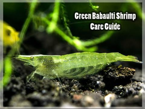 Green Babaulti Shrimp Care Guide Shrimp Green Aquarium Fish