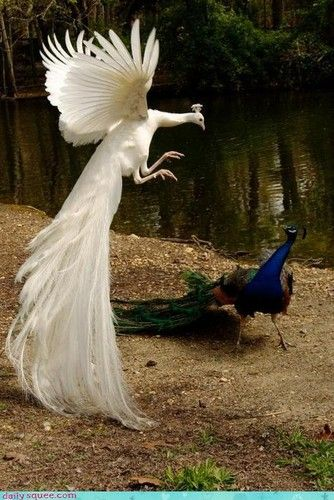 beautiful peacocks. the colored one looks like he's scared of the albino lol