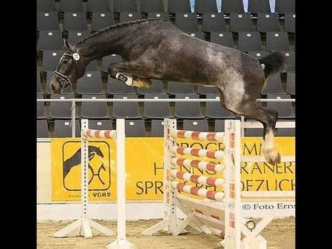 2012 top Hanoverian jumping prospect 120 cm won with 8,5 www.sporthorses...