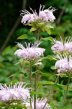 Wild bergamot or bee balm (Monarda fistulosa) - attracts bees   Prairie Nursery