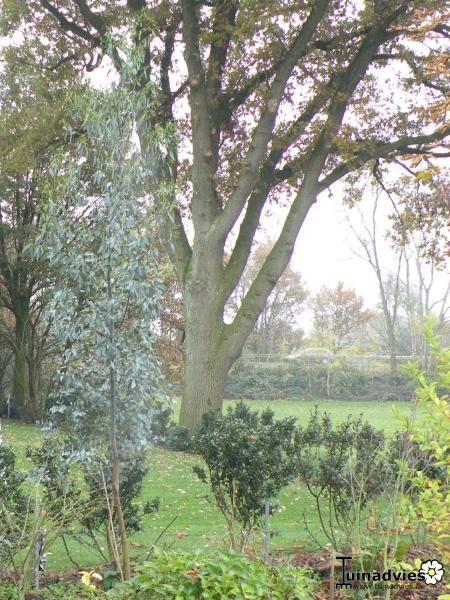 eucalyptus gunii 39 azura 39 koortsboom bloemen en planten. Black Bedroom Furniture Sets. Home Design Ideas