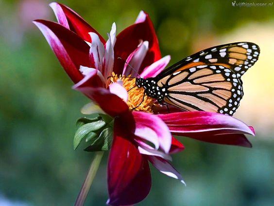 Zo uniek deze bloem, zo uniek deze vlinder. Samen versterken ze het effect. Zo is ook jouw unieke eigenheid. Laat je hierdoor inspireren!
