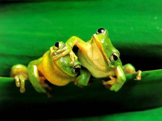 Curious Frogs