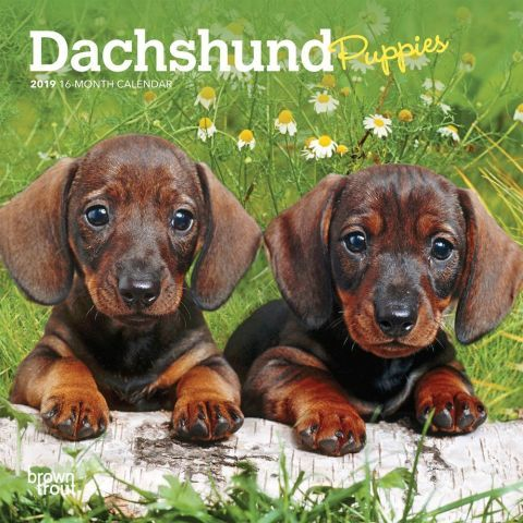Dachshund Puppies 2020 Mini Calendar Dachshund Puppies Puppies