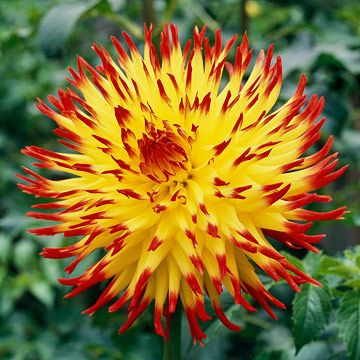 39 jessica 39 dahlia produces a needle like flower yellow in for Flowers that look like dahlias