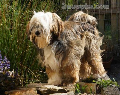 Tibetan Terrier Dog Breed Description And Characteristics Tibetan Terrier Terrier Dog Breeds Dog Breeds