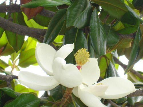Tumblr_Pasadena's magnolia_California_took by Eva Design
