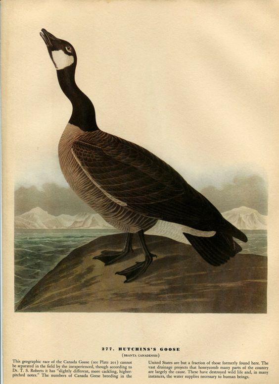 Canada Goose montebello parka sale store - Old 1941 Antique Vintage Book JOHN JAMES AUDUBON Birds of America ...