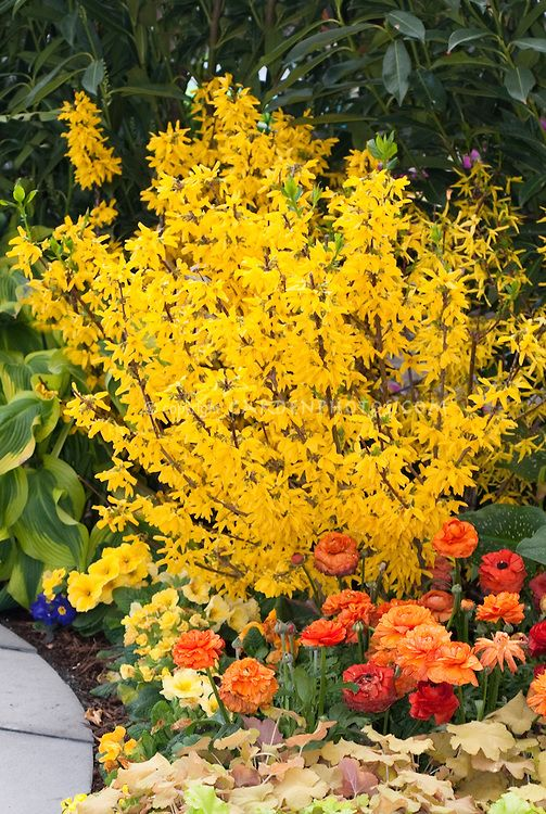 how to take cuttings from forsythia bush