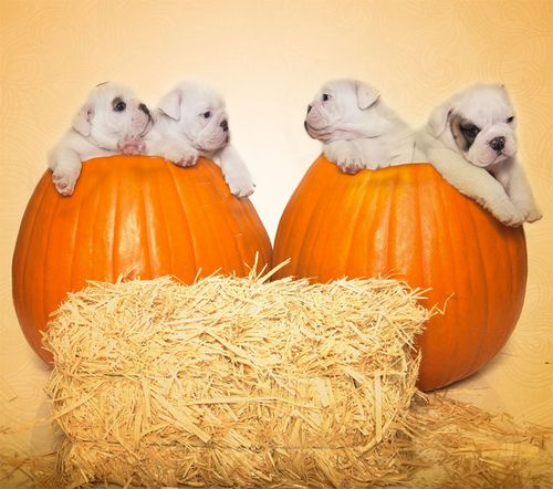 puppies, pumpkins and straw bales...cuteness