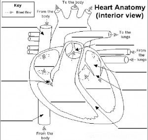 heart circulatory system worksheets ks2 anatomy pinterest heart circulatory system and. Black Bedroom Furniture Sets. Home Design Ideas