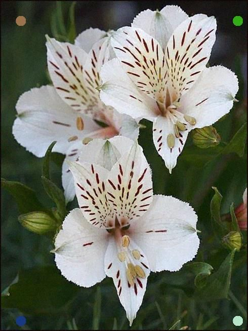 Peruvian Lily Alstroemeria Casablanca By Donsutherland1 Via Flickr Peruvian Lilies Bonsai Flower Garden Flower Beds