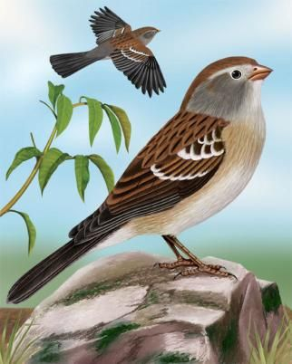 Field Sparrow - Whatbird.com
