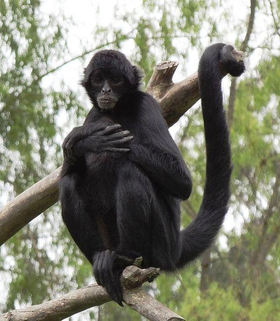 Black-headed Spider monkey((Ateles fusciceps))