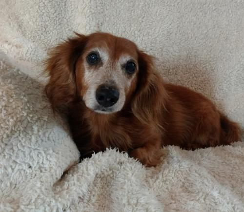 Adopt Barney On Dachshund Dog Dachshund Dachshund Breed