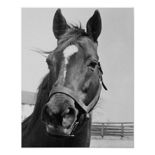 Man O' War Relaxing on His Farm Poster