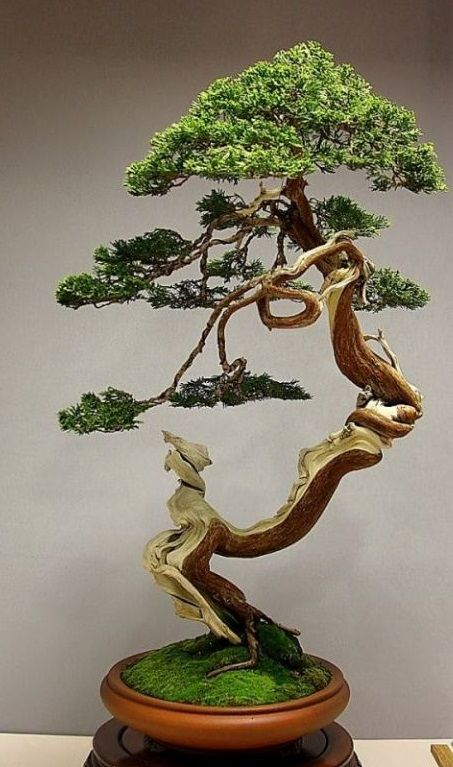 Juniper #Bonsai http://www.bonsaiempire.com/images/08-juniper-bonsai-blasco-paz.jpg                                                                                                                                                     Mais