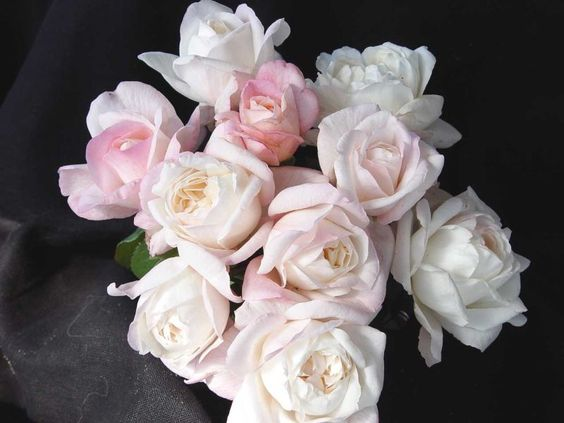 Amazing Grace Rose Myriam Rose Hybrid Tea Rose | ROSS ROSES - ROSE GALLERY