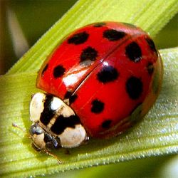 How To Get Rid Of Asian Beetles Diatomaceous Earth Water Mixture In Spray Bottle Asian Beetle Ladybug Beautiful Bugs
