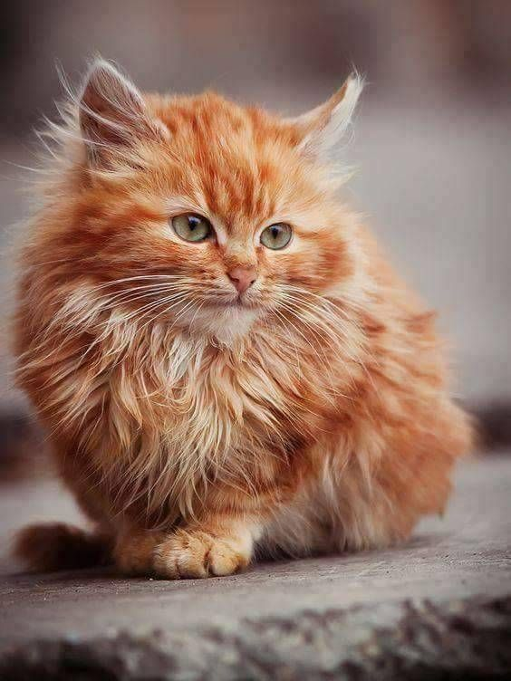 20 Precious Pictures Of Ginger Cats That Will Make You Just Say Aww 21 Cute Cats Kittens Cutest Beautiful Cats Pictures