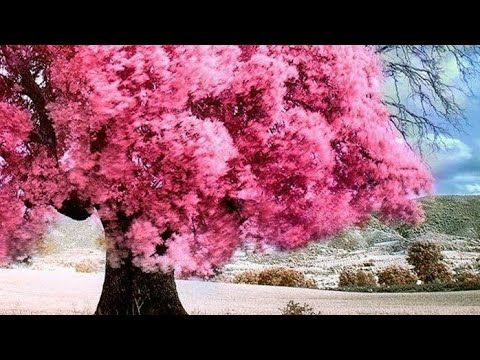 Beautiful Tree S Images Youtube In 2021 Beautiful Tree Flowering Trees Tree Images