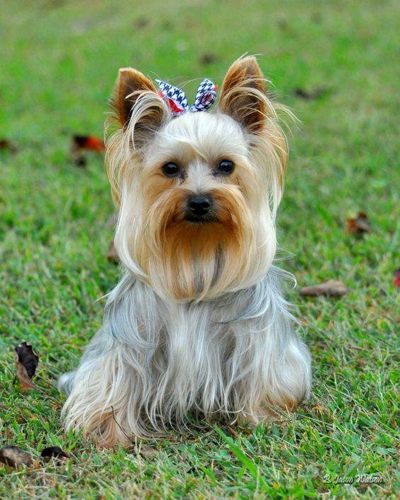 Dixie, Yorkshire Terrier
