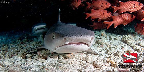 Requin - Shark - http://www.facebook.com/pages/Protégeons-les-requins/175814582526962