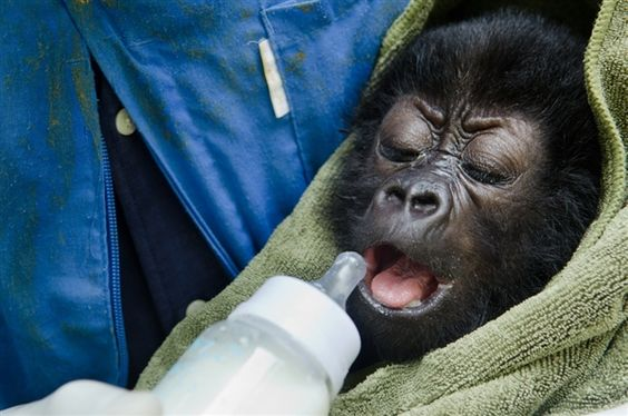 Two baby gorillas rescued in Congo; escalation of smuggling feared (Luanne Cadd / Virunga National Park)
