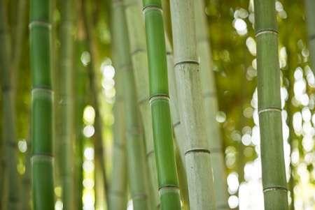 Bamboo and Bokeh I