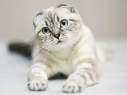 Scottish Fold Cats - B...
