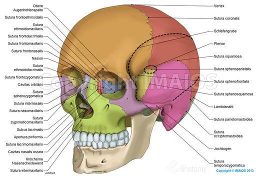 Anatomie des Schädels:anatomische Illustrationen: Suturae cranii, Ossa cranii, Scheitelbein, Stirnbein, Hinterhauptsbein, Keilbein, Schläfenbein, Siebbein, Untere Nasenmuschel, Nasenbein, Oberkieferbein, Jochbein, Unterkieferbein