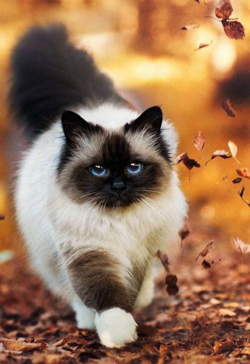Beautiful Long Hair Cat In Usa Beautiful Cats Pretty Cats Cats