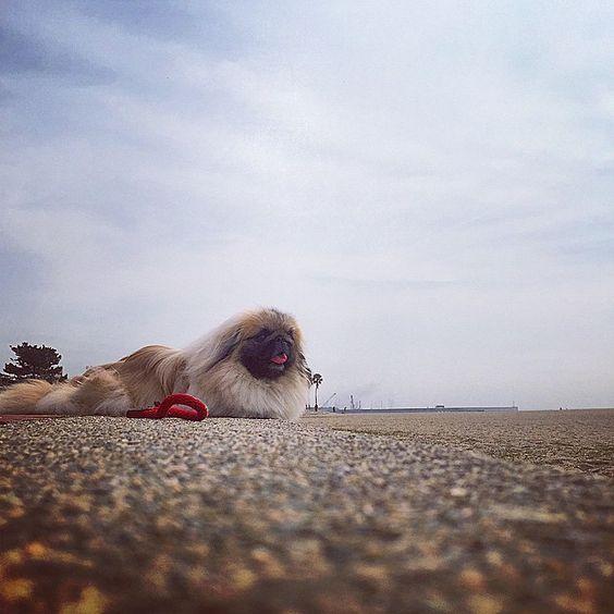 """""""#pekingese #pekestagram #pekistagram #dog#犬#ペキニーズ  Nana"""""""