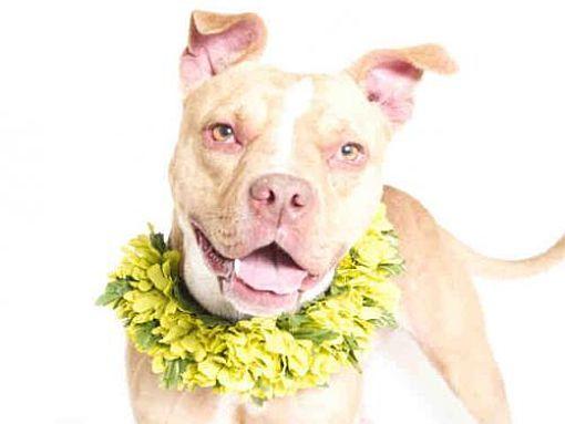 Orlando Fl Pit Bull Terrier Meet Bella A Dog For Adoption Kitten Adoption Pets Dog Adoption