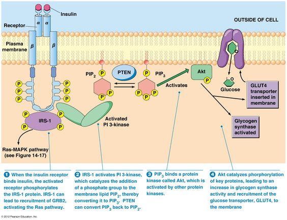 insulin receptor - tyrosine kinase linked
