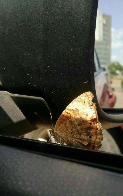 Mariposa pasajera