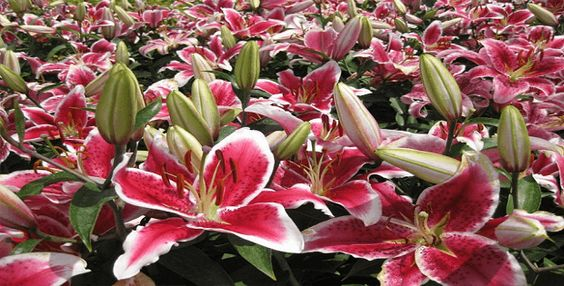 Oriental Lilies 'After Eight' - MyGardenGates