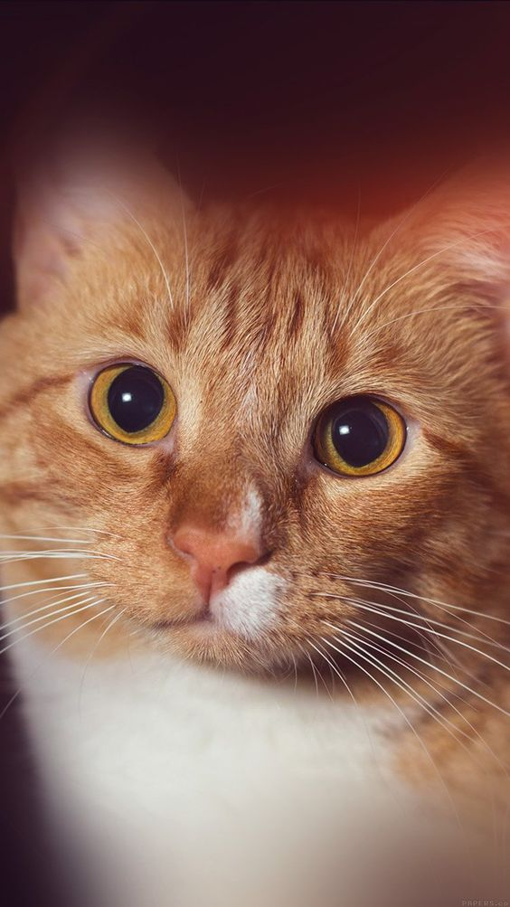 Get Wallpaper: http://bit.ly/1UnIo9S mr33-cat-face-eye-animal-cute-nature-flare-orange via http://iPhone6papers.com - Wallpapers for iPhone6 & plus