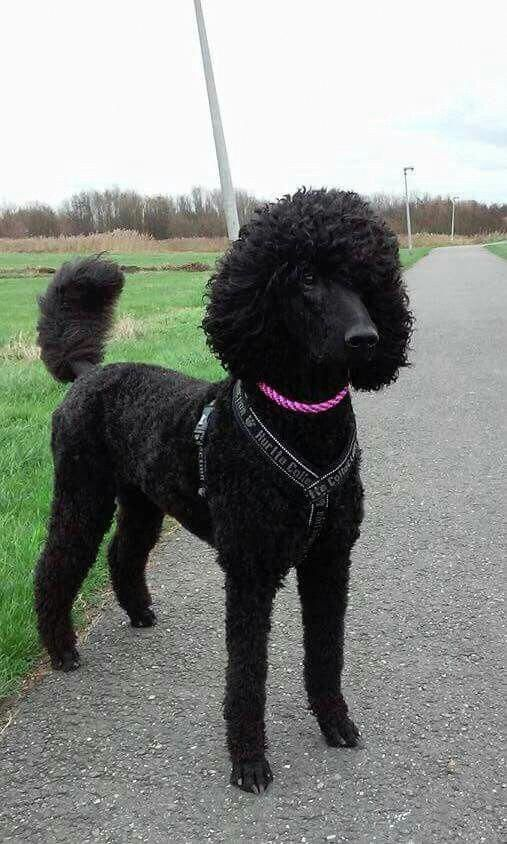 Get Excellent Recommendations On Poodle Pups They Are On Call