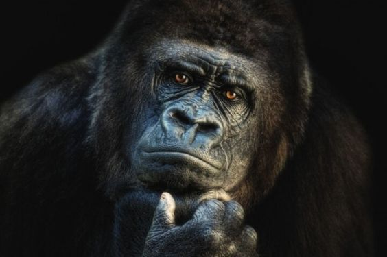 A gorilla deep in thought, probably thinking are humans intelligent enough to understand what they're doing to this beautiful planet!!!!